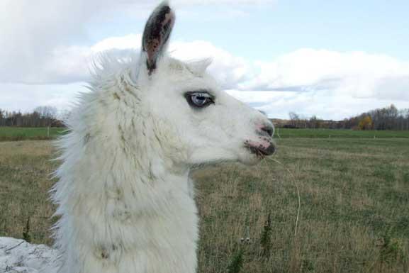 Le-lama-blanc